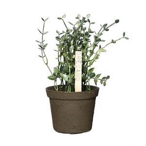 Planta de Oregano Decorativa